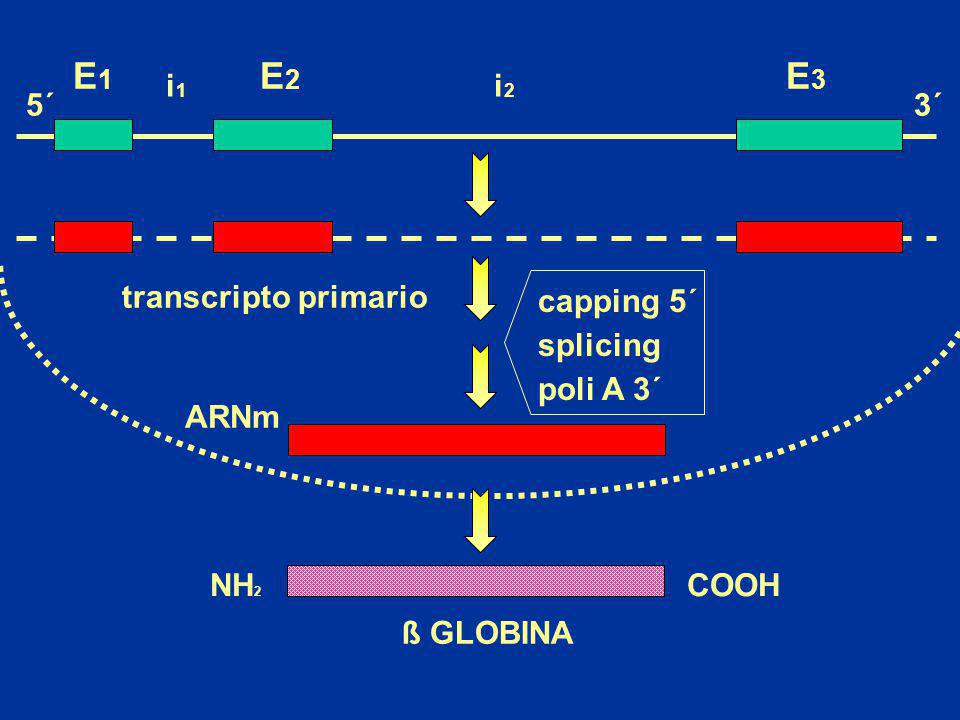 E1 E2 E3 i1 i2 5´ 3´ transcripto primario capping 5´ splicing