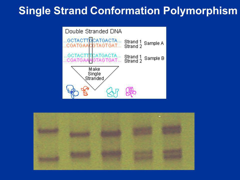 Single Strand Conformation Polymorphism