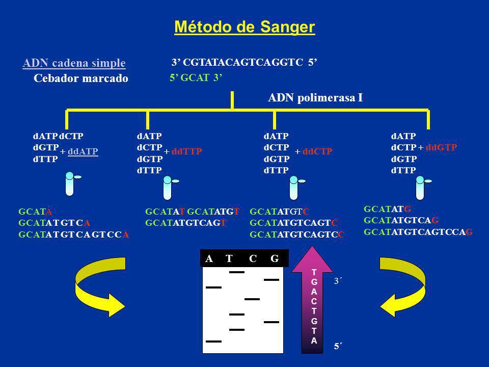 Método de Sanger ADN cadena simple Cebador marcado ADN polimerasa I