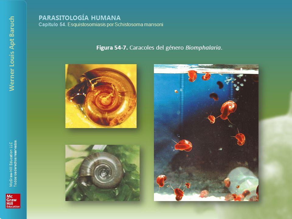 Figura 54-7. Caracoles del género Biomphalaria.