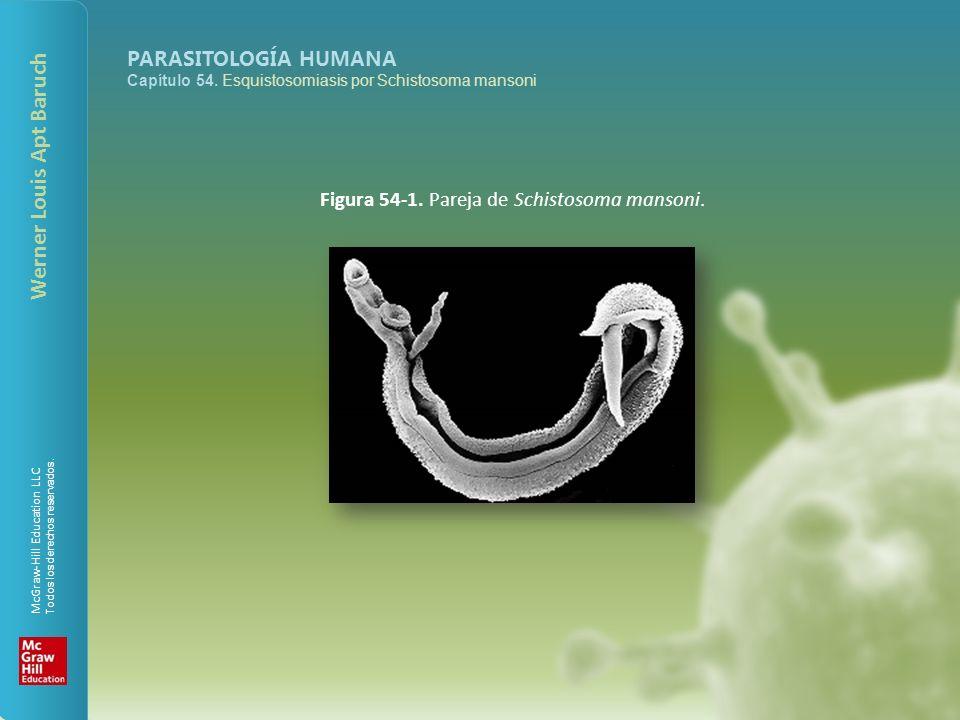 Figura 54-1. Pareja de Schistosoma mansoni.