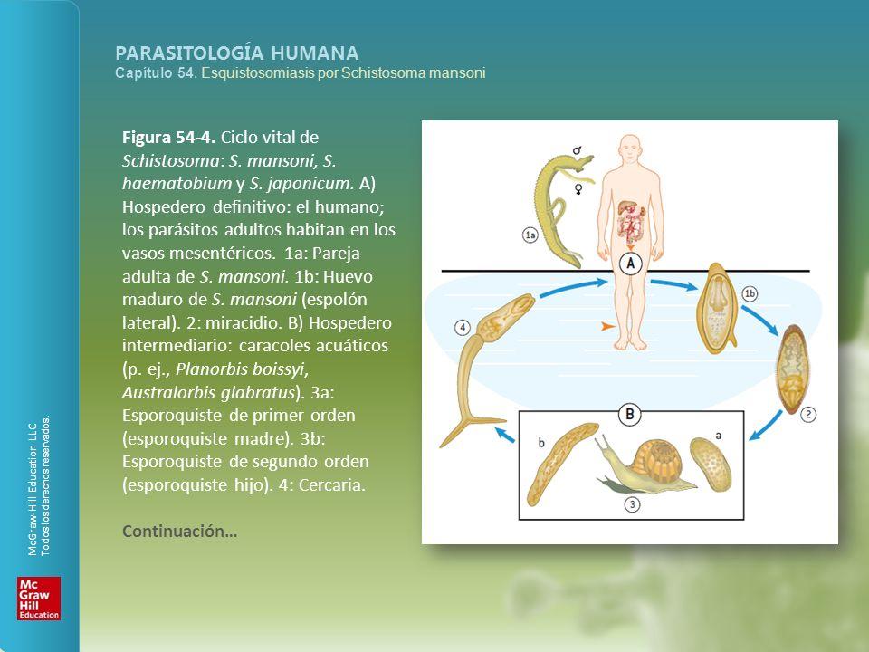Figura 54-4. Ciclo vital de Schistosoma: S. mansoni, S. haematobium y S. japonicum. A) Hospedero definitivo: el humano; los parásitos adultos habitan en los vasos mesentéricos. 1a: Pareja adulta de S. mansoni. 1b: Huevo maduro de S. mansoni (espolón