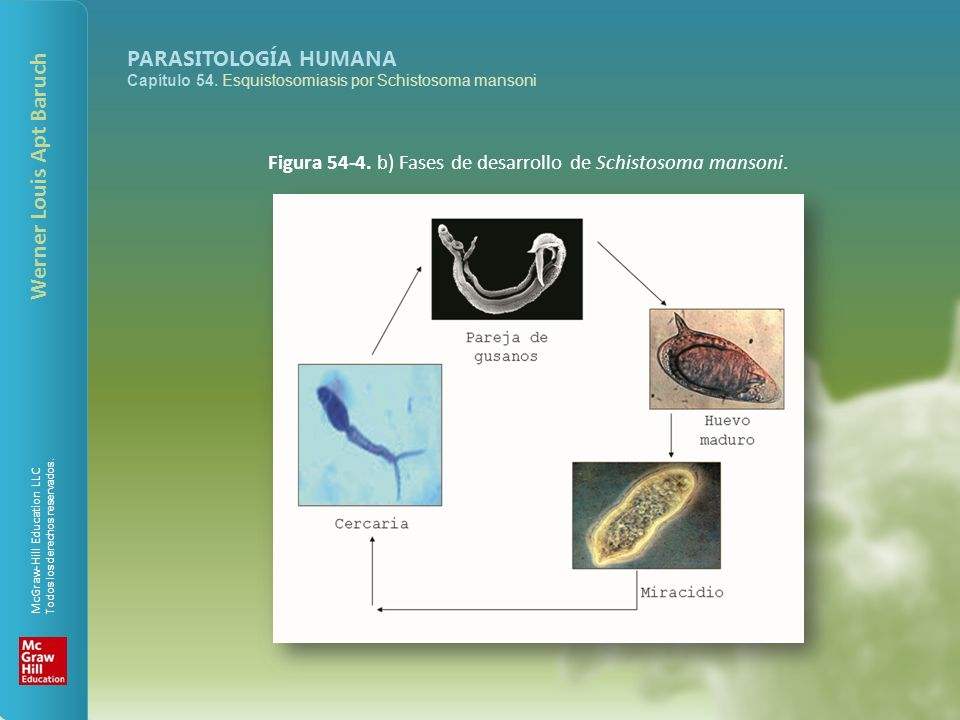 Figura 54-4. b) Fases de desarrollo de Schistosoma mansoni.