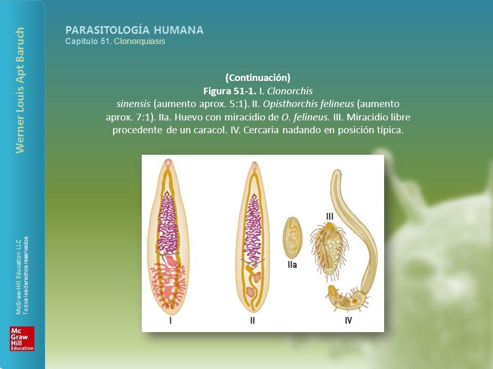 sinensis (aumento aprox. 5:1). II. Opisthorchis felineus (aumento