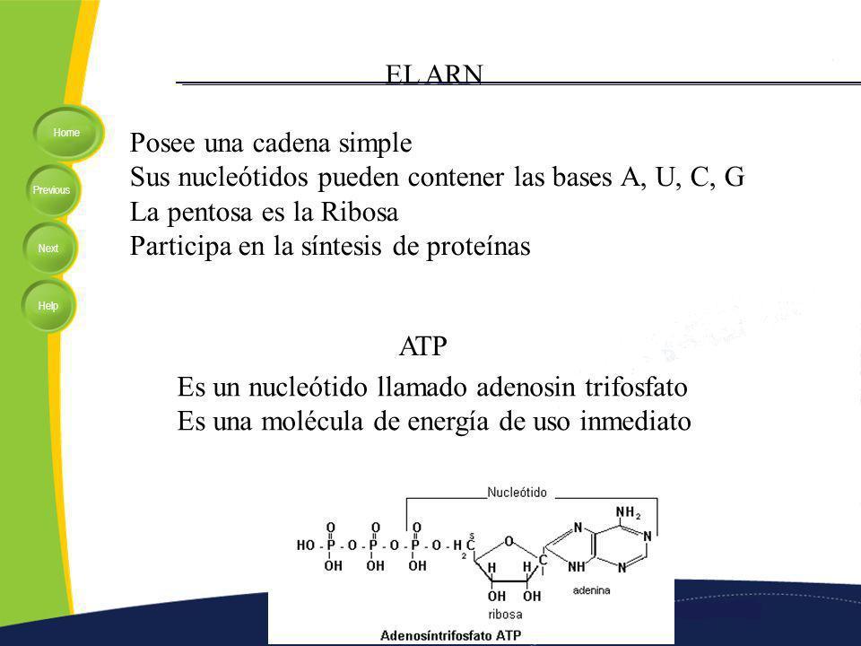 EL ARN Posee una cadena simple. Sus nucleótidos pueden contener las bases A, U, C, G. La pentosa es la Ribosa.