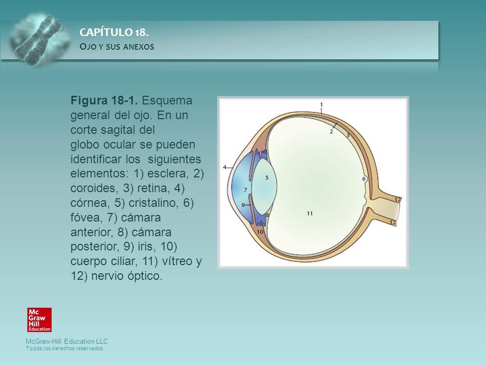 Figura 18-1. Esquema general del ojo. En un corte sagital del