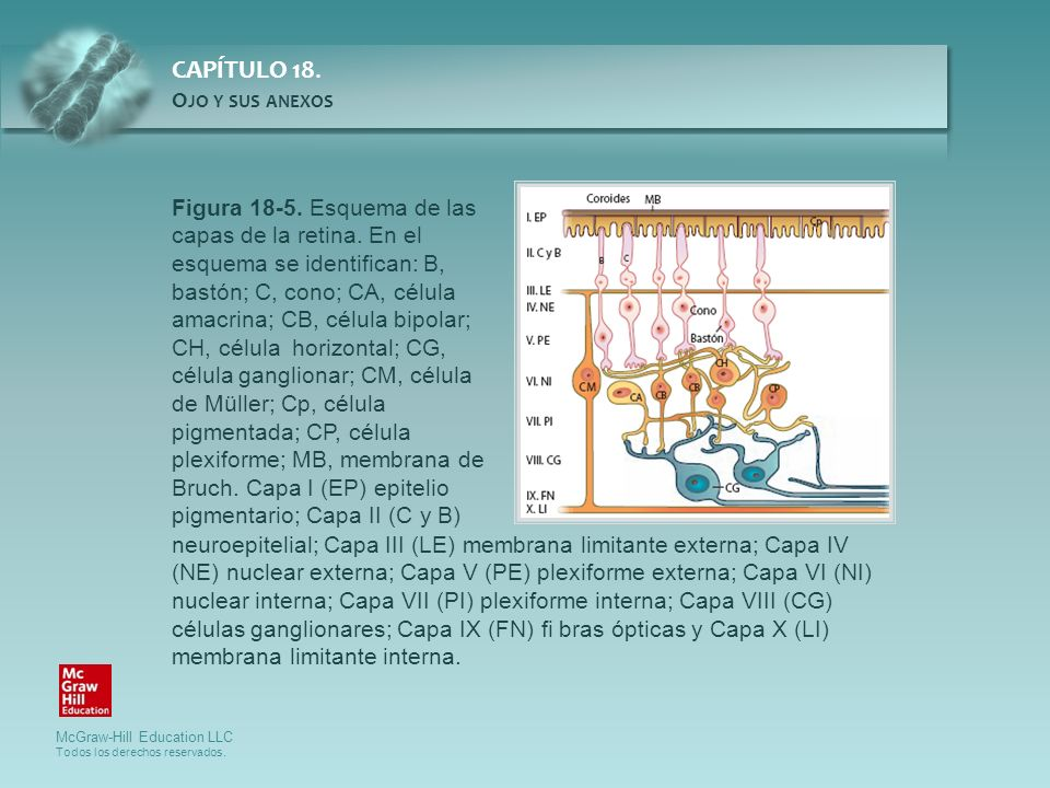 Figura 18-5. Esquema de las capas de la retina