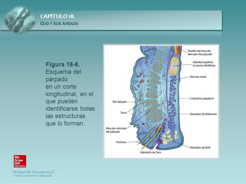 Figura 18-8. Esquema del párpado