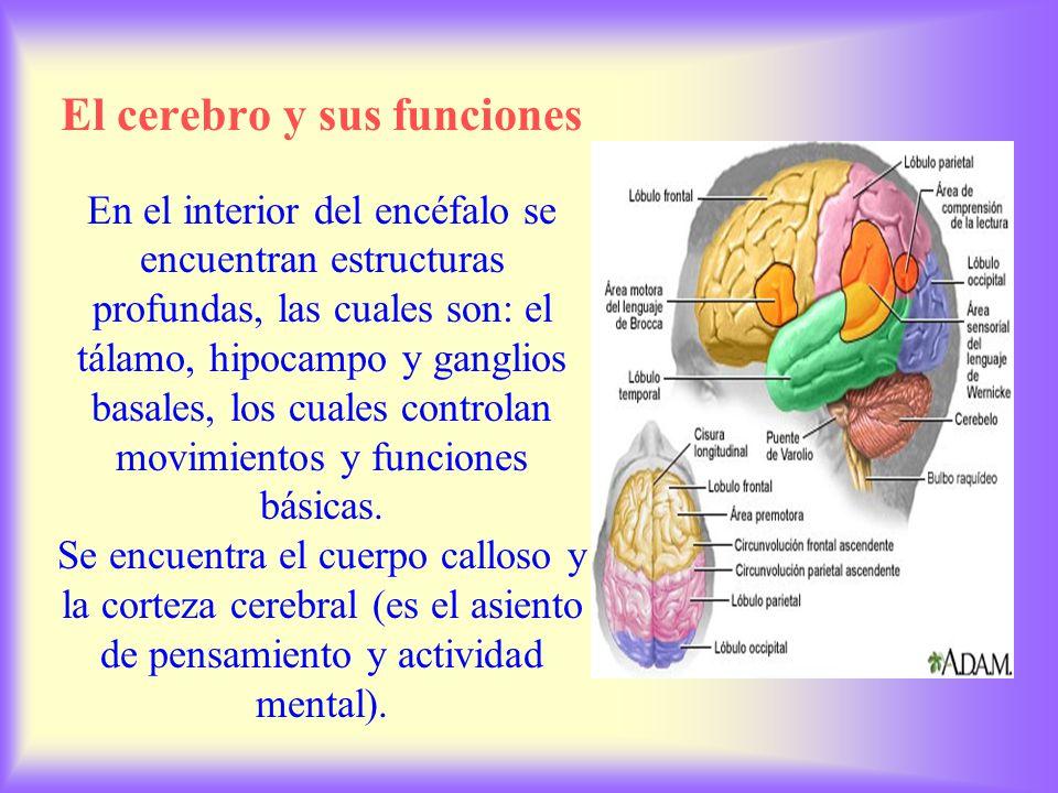 El cerebro y sus funciones En el interior del encéfalo se encuentran estructuras profundas, las cuales son: el tálamo, hipocampo y ganglios basales, los cuales controlan movimientos y funciones básicas.