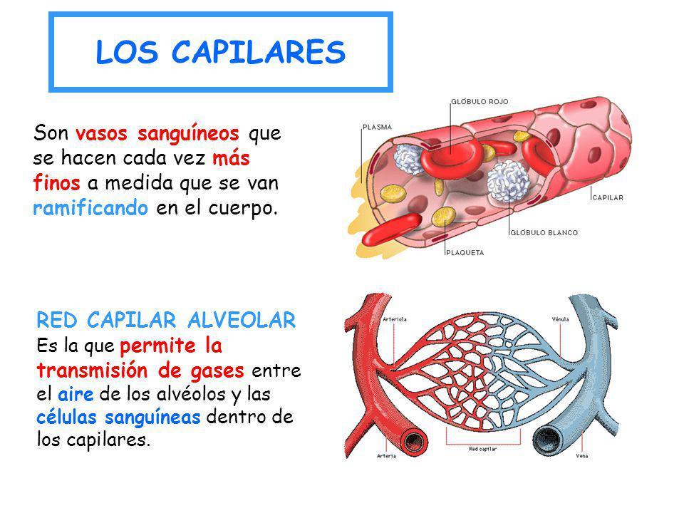 LOS CAPILARES RED CAPILAR ALVEOLAR