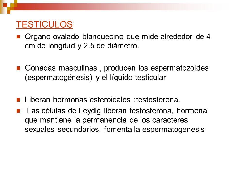TESTICULOS Organo ovalado blanquecino que mide alrededor de 4 cm de longitud y 2.5 de diámetro.