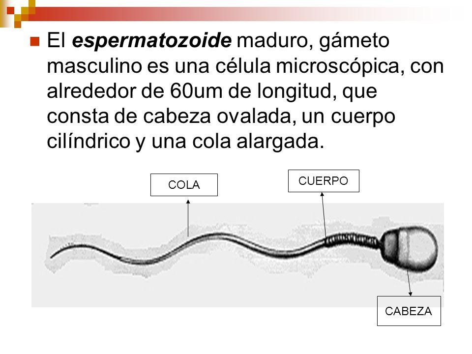 El espermatozoide maduro, gámeto masculino es una célula microscópica, con alrededor de 60um de longitud, que consta de cabeza ovalada, un cuerpo cilíndrico y una cola alargada.