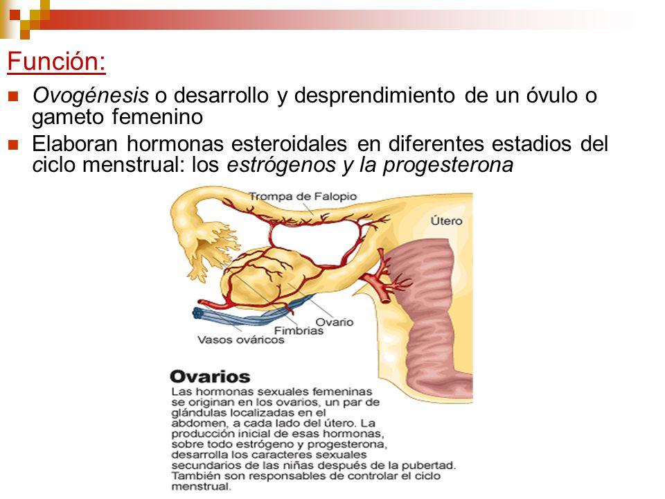 Función: Ovogénesis o desarrollo y desprendimiento de un óvulo o gameto femenino.