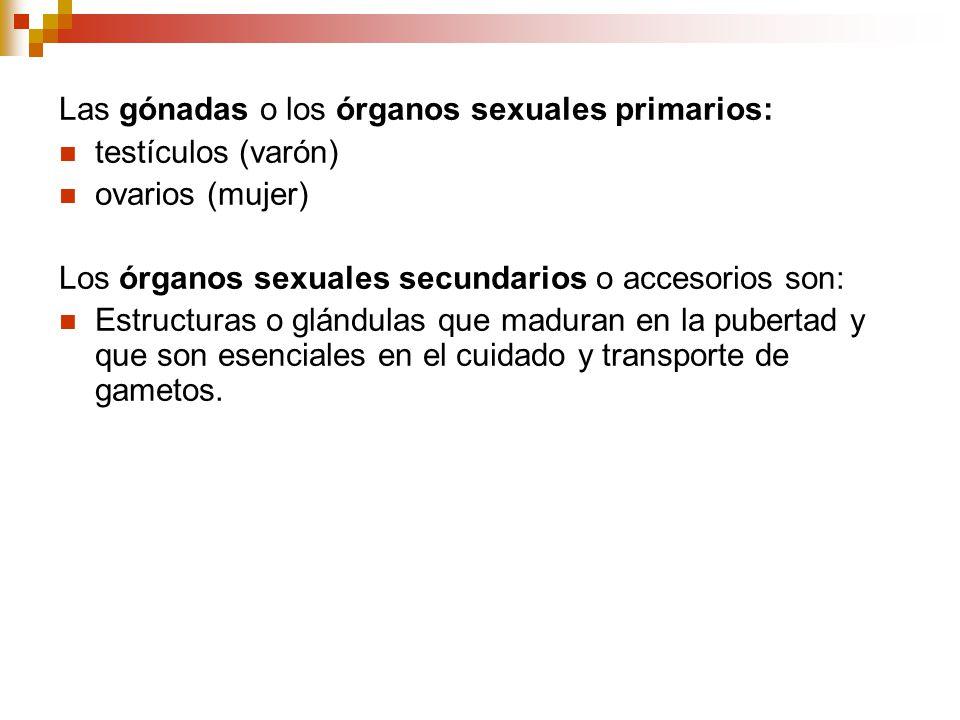Las gónadas o los órganos sexuales primarios: