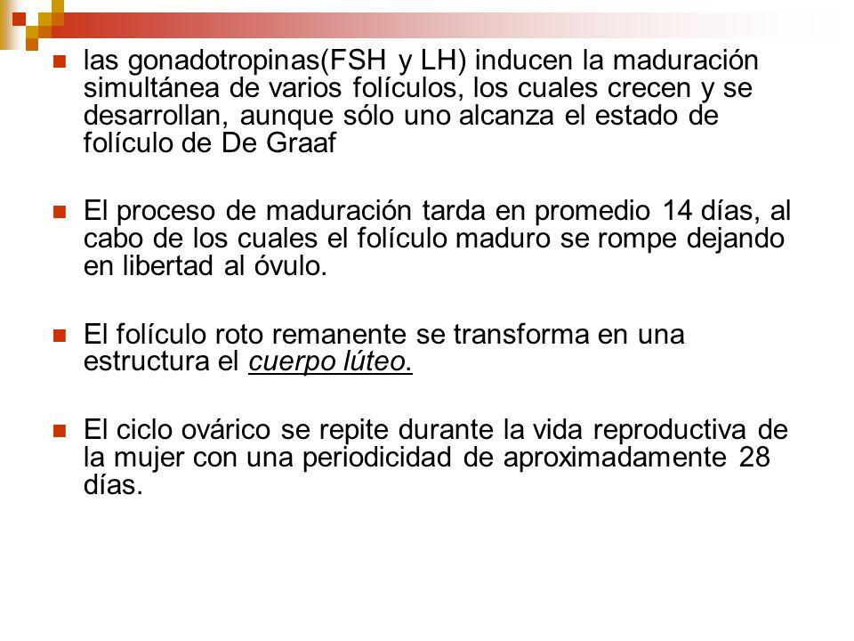 las gonadotropinas(FSH y LH) inducen la maduración simultánea de varios folículos, los cuales crecen y se desarrollan, aunque sólo uno alcanza el estado de folículo de De Graaf