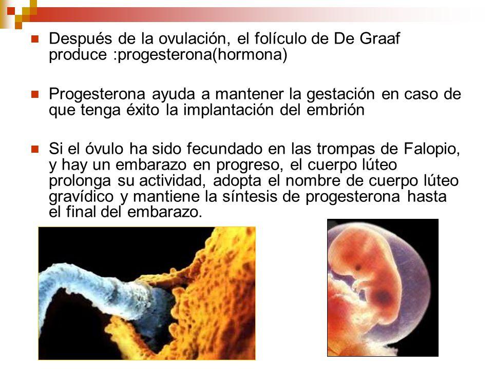 Después de la ovulación, el folículo de De Graaf produce :progesterona(hormona)