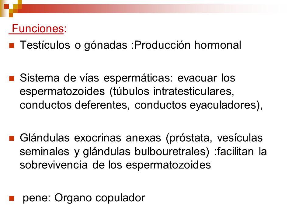 Funciones: Testículos o gónadas :Producción hormonal.
