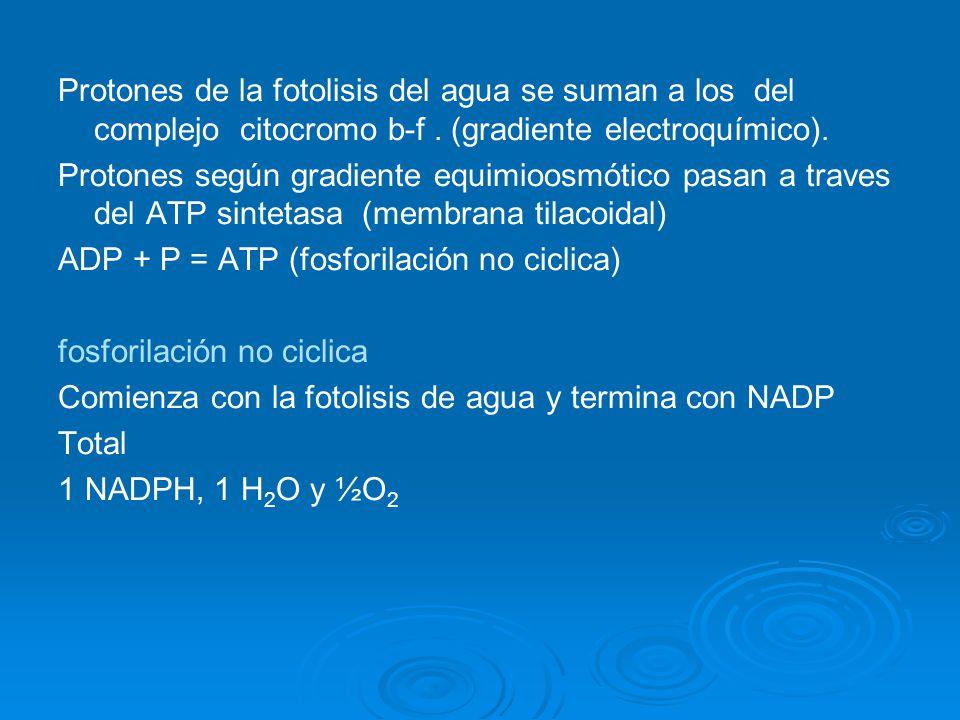Protones de la fotolisis del agua se suman a los del complejo citocromo b-f . (gradiente electroquímico).