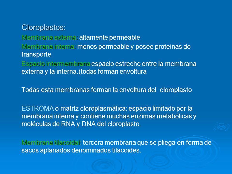 Cloroplastos: Membrana externa: altamente permeable