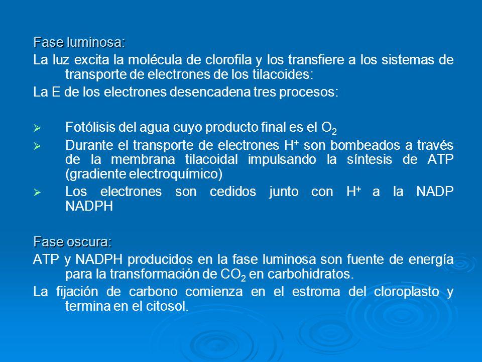 Fase luminosa: La luz excita la molécula de clorofila y los transfiere a los sistemas de transporte de electrones de los tilacoides:
