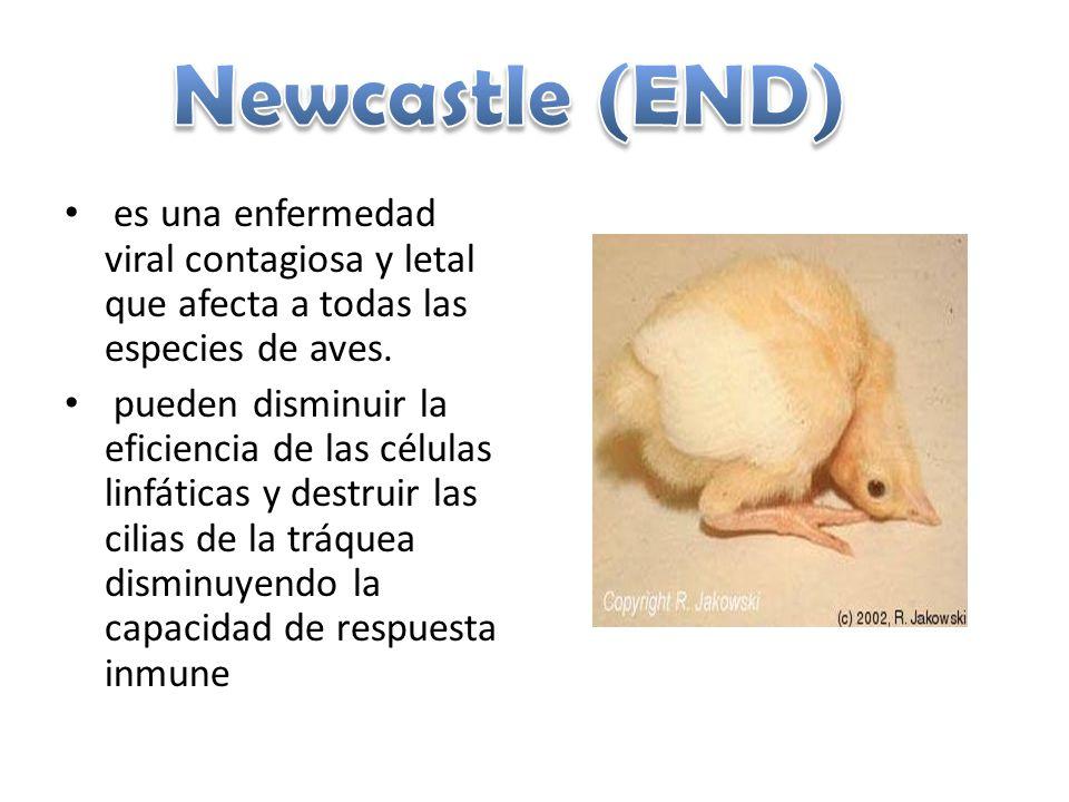 Newcastle (END) es una enfermedad viral contagiosa y letal que afecta a todas las especies de aves.