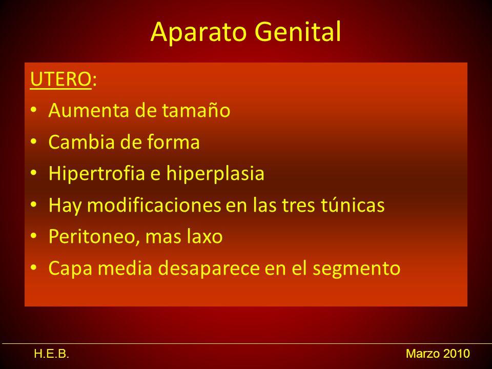 Aparato Genital UTERO: Aumenta de tamaño Cambia de forma