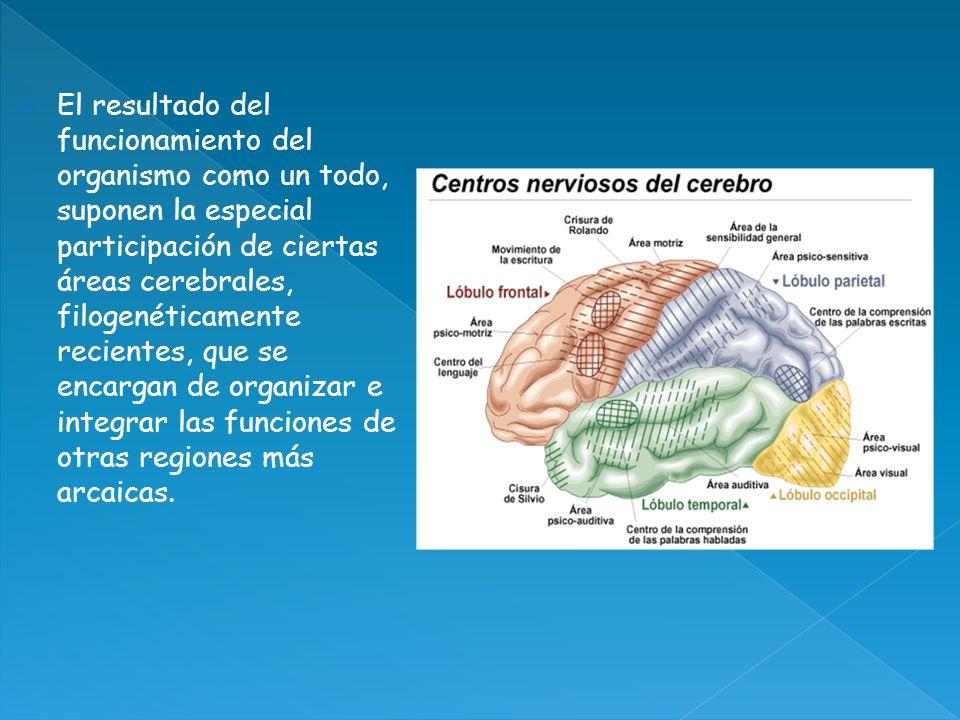 El resultado del funcionamiento del organismo como un todo, suponen la especial participación de ciertas áreas cerebrales, filogenéticamente recientes, que se encargan de organizar e integrar las funciones de otras regiones más arcaicas.
