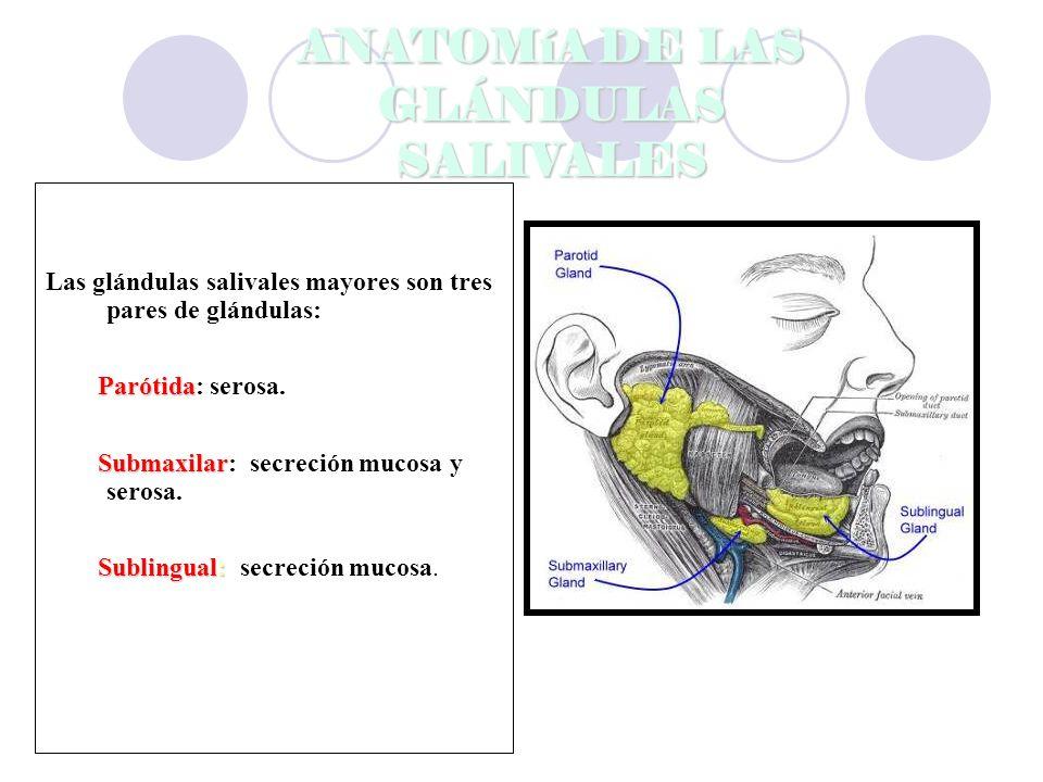 ANATOMíA DE LAS GLÁNDULAS SALIVALES