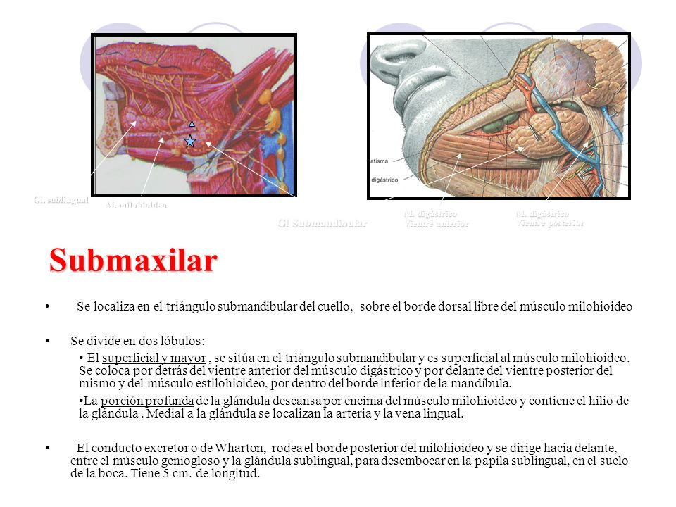 Gl Submandibular Submaxilar