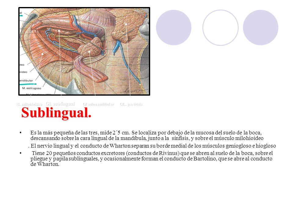 Gl. sublingual Gl submandibular. GL. parótida. M. milohioideo. Sublingual.