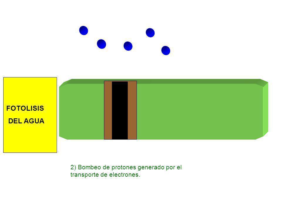 FOTOLISIS DEL AGUA 2) Bombeo de protones generado por el transporte de electrones.