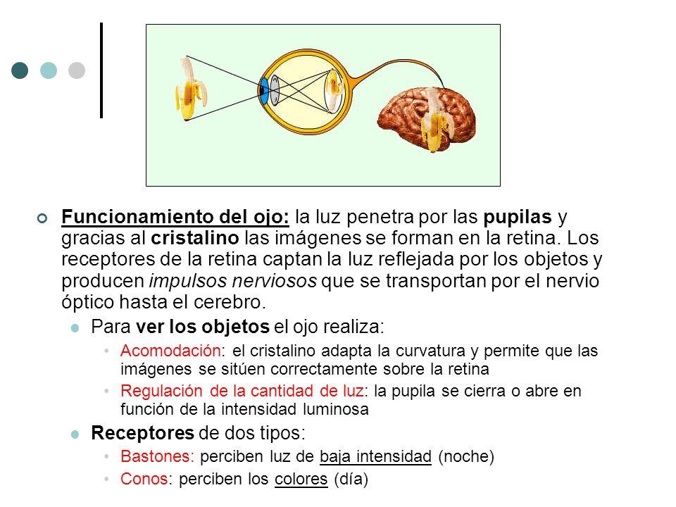 Funcionamiento del ojo: la luz penetra por las pupilas y gracias al cristalino las imágenes se forman en la retina. Los receptores de la retina captan la luz reflejada por los objetos y producen impulsos nerviosos que se transportan por el nervio óptico hasta el cerebro.