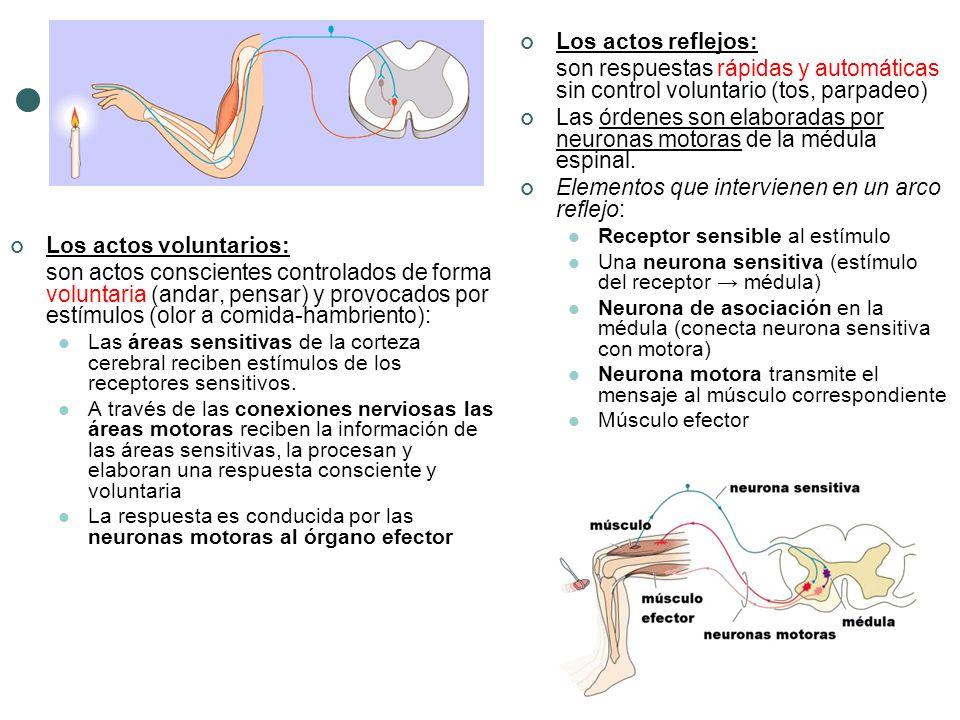 Las órdenes son elaboradas por neuronas motoras de la médula espinal.