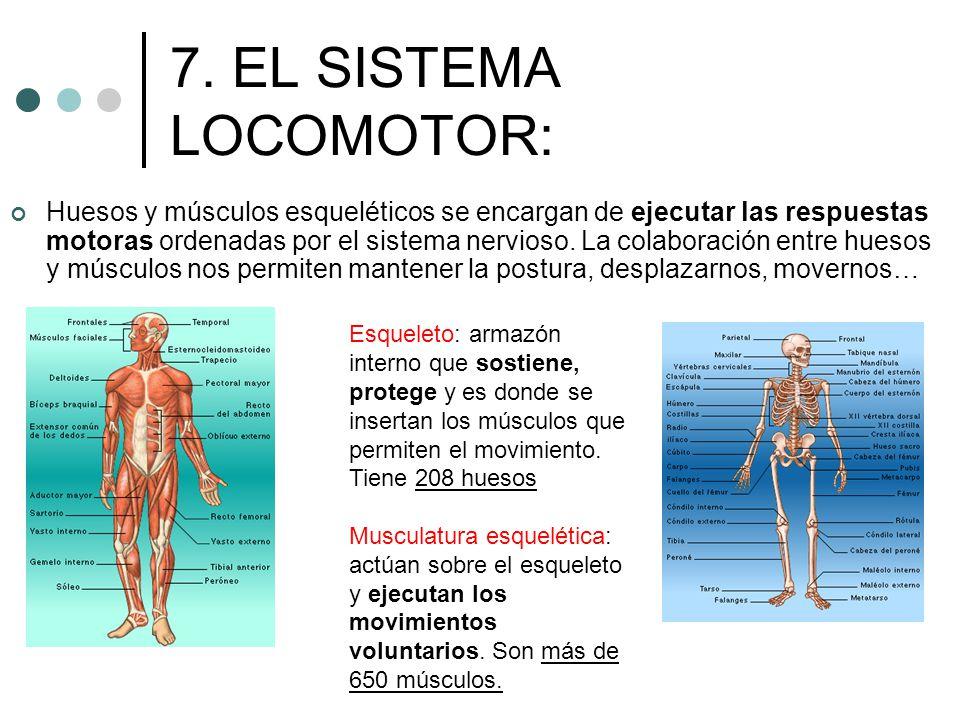 7. EL SISTEMA LOCOMOTOR: