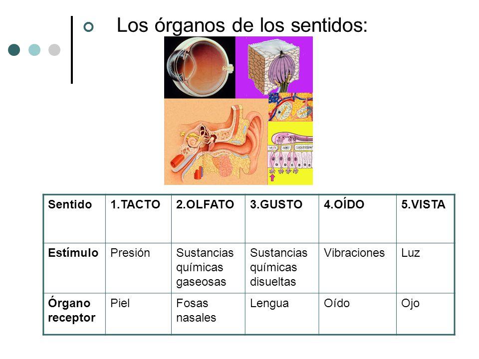 Tema 6 est mulo y respuesta receptores y efectores ppt for El divan de los sentidos