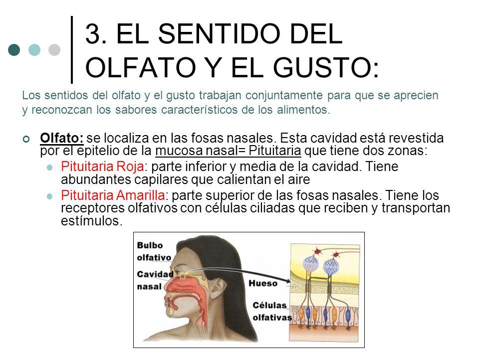 3. EL SENTIDO DEL OLFATO Y EL GUSTO: