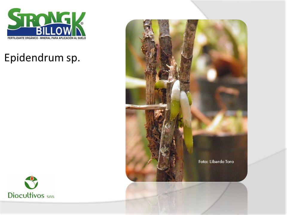 Epidendrum sp. Foto: Libardo Toro