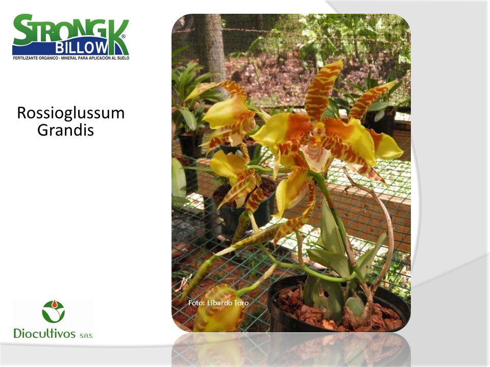Rossioglussum Grandis