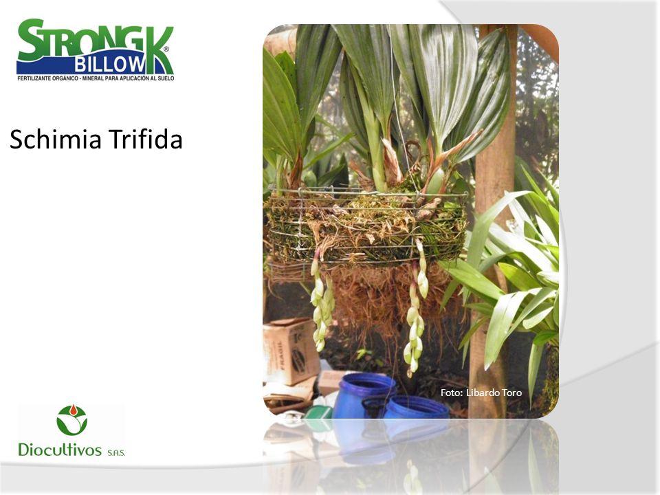 Schimia Trifida Foto: Libardo Toro