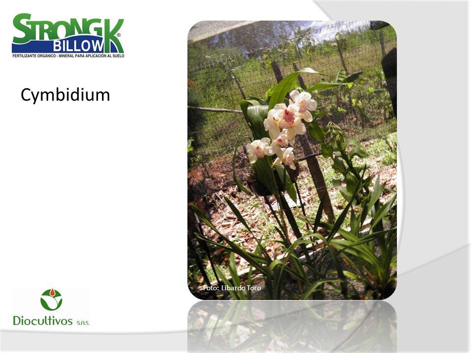 Cymbidium Foto: Libardo Toro