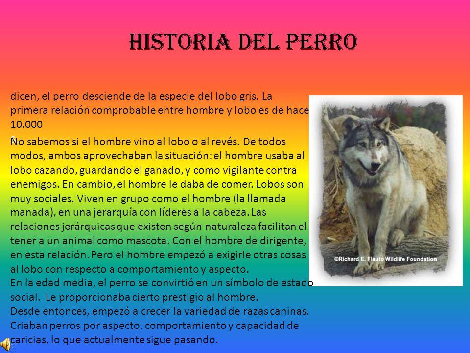 Historia del perro dicen, el perro desciende de la especie del lobo gris. La primera relación comprobable entre hombre y lobo es de hace 10.000.