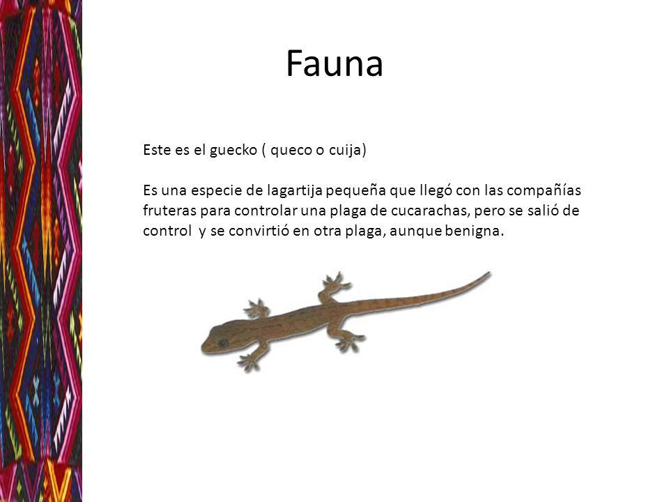 Fauna Este es el guecko ( queco o cuija)