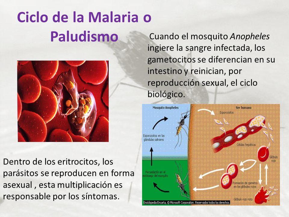 Ciclo de la Malaria o Paludismo