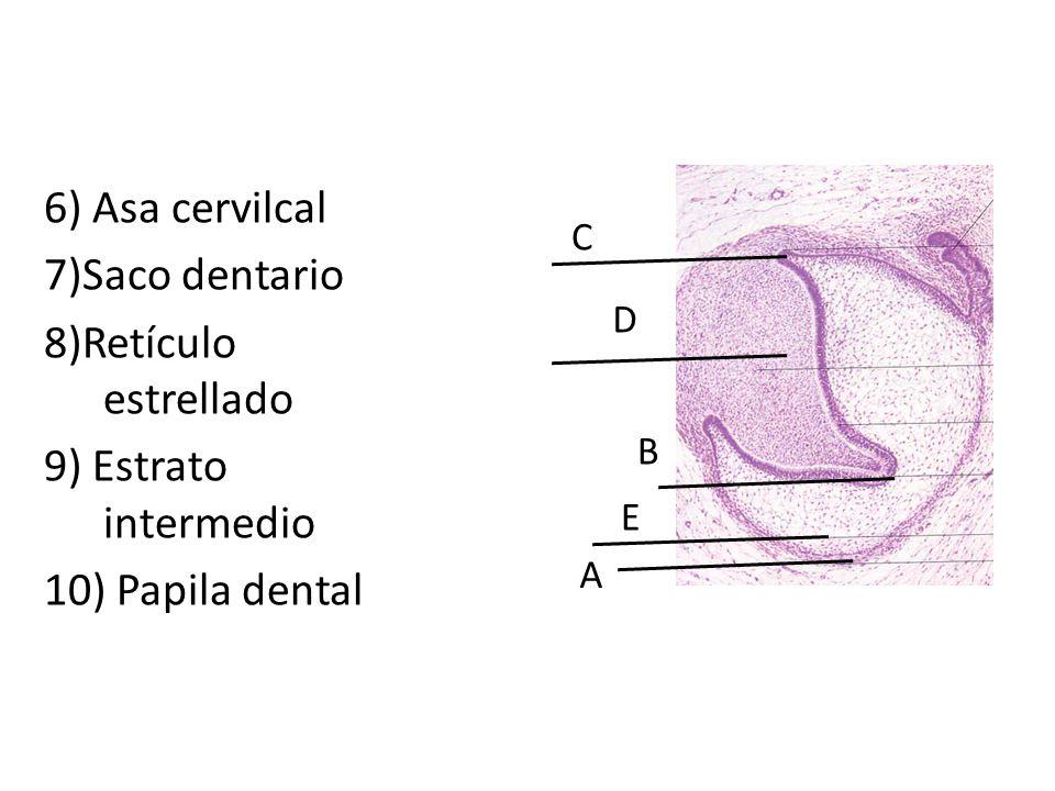 6) Asa cervilcal 7)Saco dentario 8)Retículo estrellado