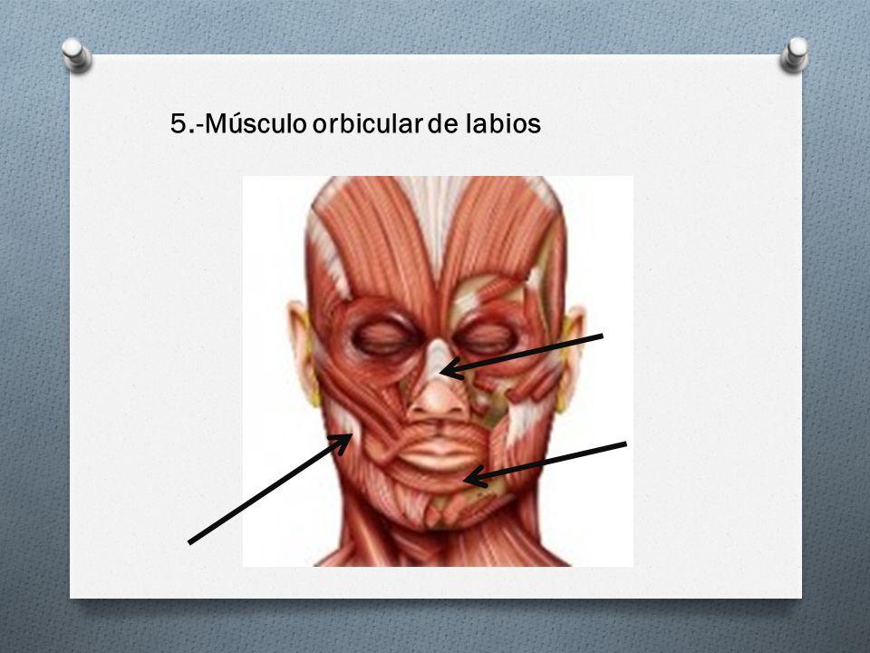 5.-Músculo orbicular de labios