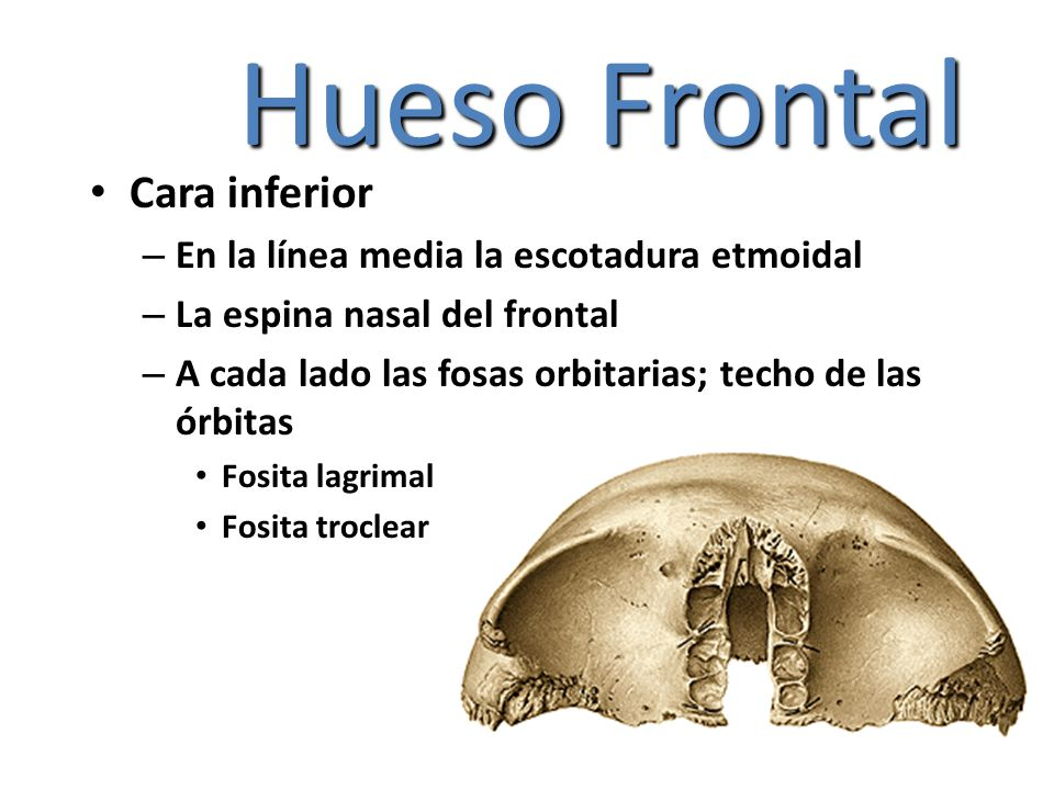 Hueso Frontal Cara inferior En la línea media la escotadura etmoidal