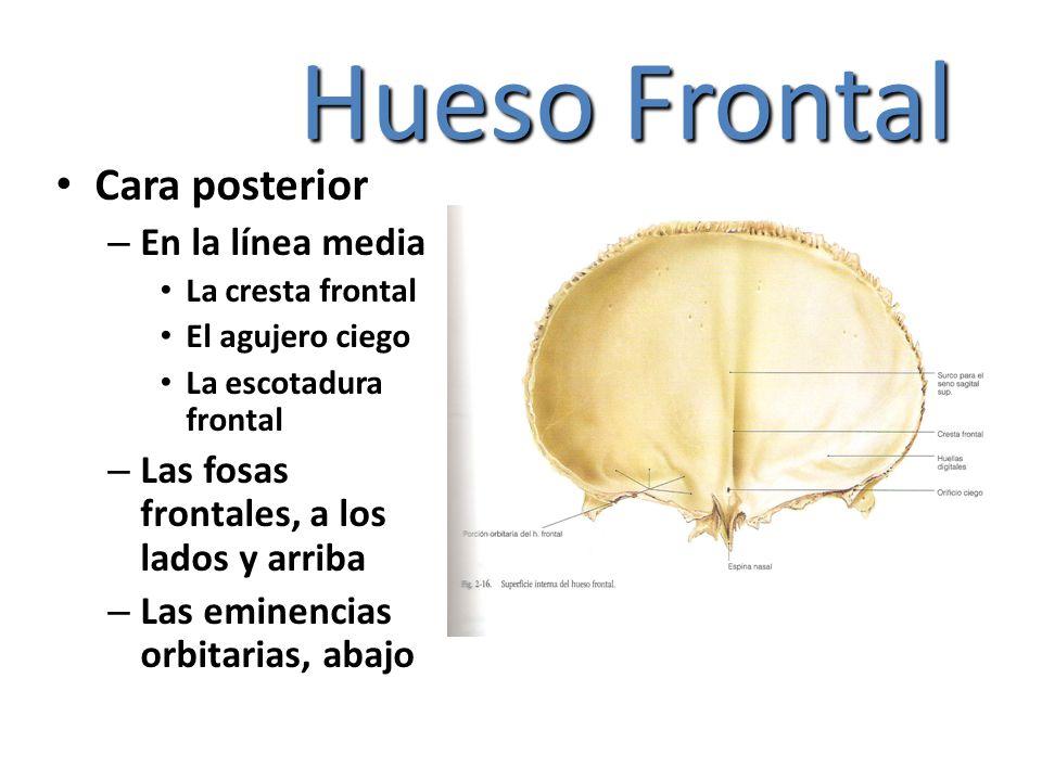 Hueso Frontal Cara posterior En la línea media