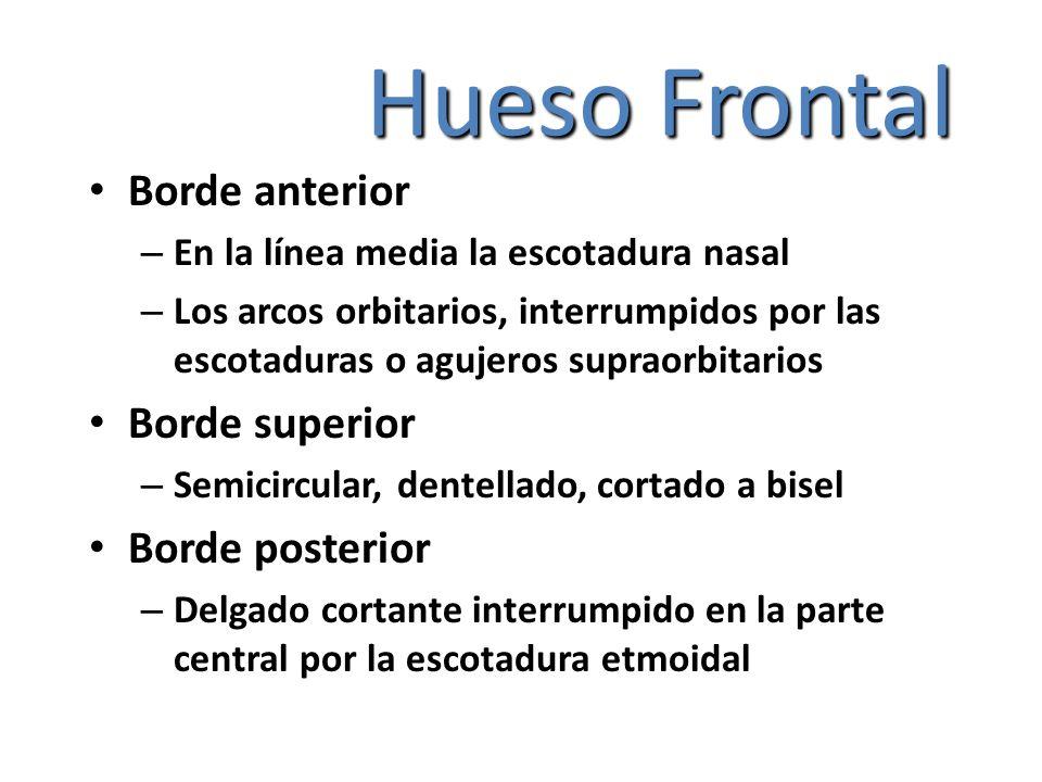 Hueso Frontal Borde anterior Borde superior Borde posterior