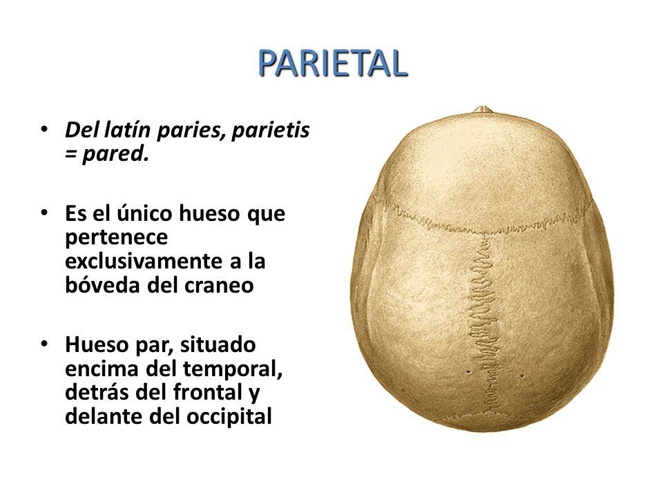 PARIETAL Del latín paries, parietis = pared.