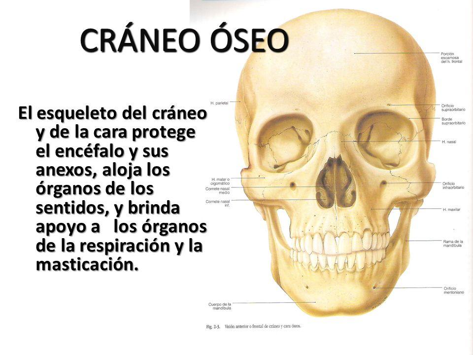 CRÁNEO ÓSEO